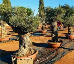 olivetree2